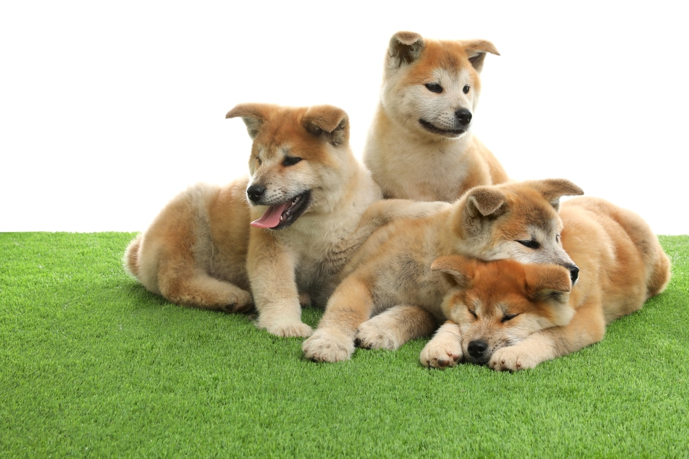 Dogs relaxing on a fake lawn