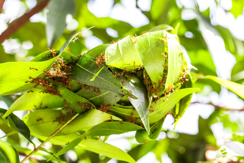Red insects build a nest on the leaves of a tree in the garden